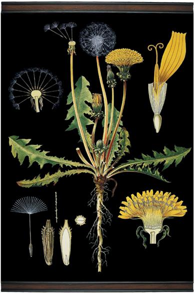Dandelion Botanical Chart Giclee Scroll